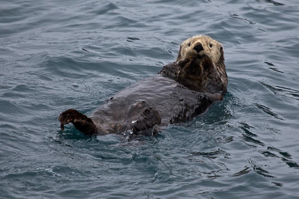 sea-water-nature-ocean-animal-cute-wildlife-fur-portrait-mammal-aquatic-floating-swimming-marine-seals-vertebrate-otter-harbor-seal-sea-otter-marine-mammal-mustelidae-620207
